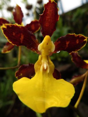 LES FORÊTS TROPICALES DE L'AMAZONIE ÉQUATORIENNE: Amazon jungle orchid is one of the many Amazon rainforest plants