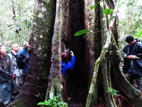 TURISMO ORIENTE DEL ECUADOR: Giant hollow fig tree.