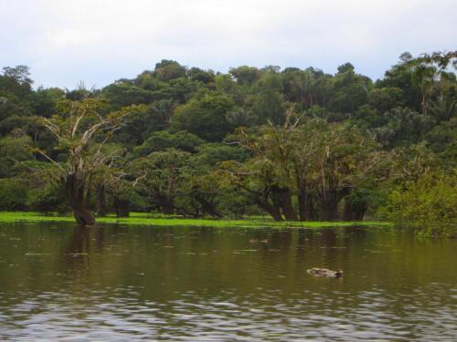 BEST BEST ECUADOR TRAVEL [CUYABENO TOURS]: Lagarto Cocha lakes with Macrolobium trees in Cuyabeno.