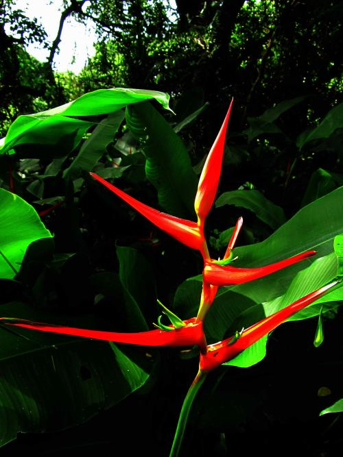BESTE PLEK JUNGLE ECUADOR: Heliconias can be seen on Amazon visits in Ecuador.