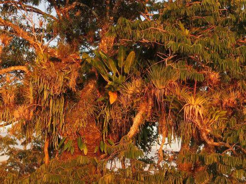 LES FORÊTS TROPICALES DE L'AMAZONIE ÉQUATORIENNE: Epiphytes on Macrolobia are common Amazon rainforest plants in the marshes of the Cuyabeno Lake, Ecuador