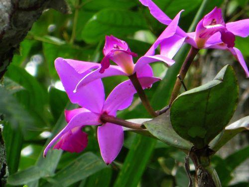 AMAZON FOREST PLANTS, ECUADOR: Bright orchid are very popular among the Amazon rainforest plants.