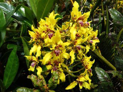 AMAZON FOREST PLANTS, ECUADOR: Green orchids are common among the Amazon rainforest plants.