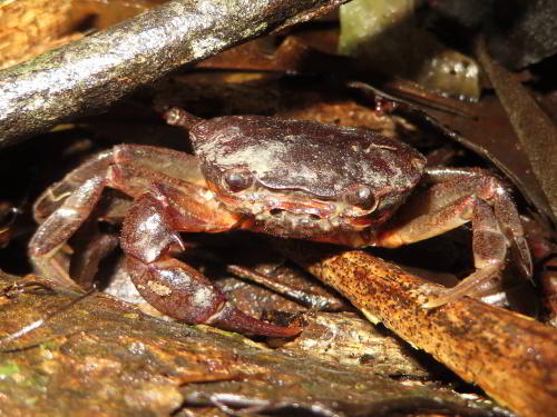 DE AMAZONE RIVIER, ECUADOR: Amazon zoet water crab.