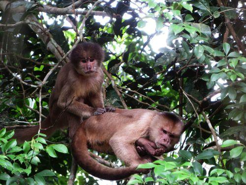 6 BESTE REISEN CUYABENO WILDSCHUTZGEBIET: Squirl Monkeys at Cuyabeno Wildlife Reserve.