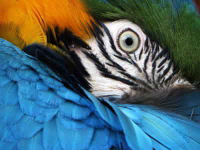 Amazon jungle animals Ecuador: Blue and Yellow Macaw in Cuyabeno Park