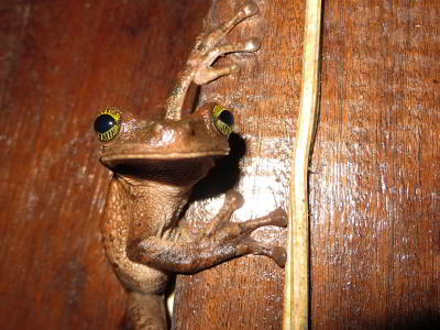 Cuyabeno Fauna Reserve Ecuador: Frog waiting to snap up a fat insect