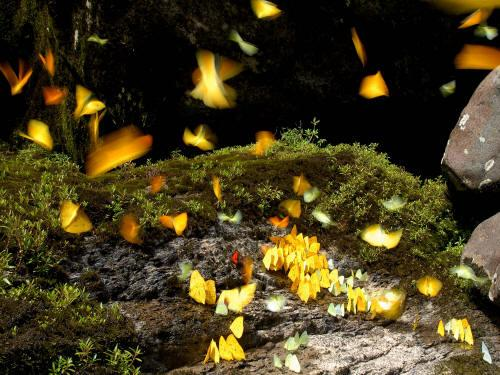 TURISMO ORIENTE DEL ECUADOR: Yellow butterflies swarming around a salt lick.