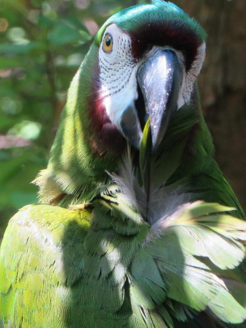 TURISMO ORIENTE DEL ECUADOR: Chesnut-fronted Parrots are common in the Amazon.