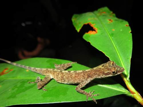 8 TOURS AMAZONIENS EN EQUATEUR: Un lézard nocturne de la jungle.