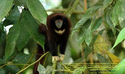 AMAZON RAINFOREST ANIMALS LIST: Yellow Handed Titi Monkey is a common Jungle Animal at Cuyabeno