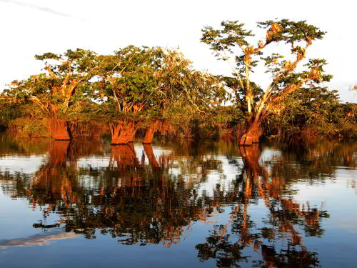 BEST BEST ECUADOR TRAVEL [CUYABENO TOURS]: Macrolobium trees at Lake Cuyabeno.